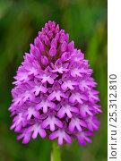 Купить «Flower head of Pyramidal Orchid (Anacamptis pyramidalis). Dorset, UK, June.», фото № 25312810, снято 17 октября 2018 г. (c) Nature Picture Library / Фотобанк Лори