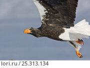 Купить «Steller's sea eagle (Haliaeetus pelagicus) in flight, Lake Kuril, Kamchatka, Far East Russia, January», фото № 25313134, снято 18 октября 2019 г. (c) Nature Picture Library / Фотобанк Лори
