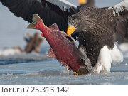 Купить «Steller's sea eagle (Haliaeetus pelagicus) taking salmon from icy water, Lake Kuril, Kamchatka, Far East Russia, January», фото № 25313142, снято 18 октября 2019 г. (c) Nature Picture Library / Фотобанк Лори