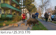 People watching Wild boar (Sus scrofa) sow and piglets crossing road, Argentinischen Allee, Berlin, Germany, March 2007. Стоковое фото, фотограф Florian Möllers / Nature Picture Library / Фотобанк Лори