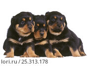 Domestic dog, Rottweiler, three puppies. Стоковое фото, фотограф Yves Lanceau / Nature Picture Library / Фотобанк Лори