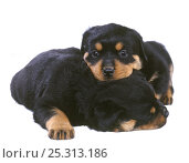Domestic dog, Rottweiler, two puppies. Стоковое фото, фотограф Yves Lanceau / Nature Picture Library / Фотобанк Лори