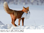 Купить «Red fox (Vulpes vulpes) carrying white grouse prey over snow, Kamchatka, Far east Russia, January», фото № 25313242, снято 4 декабря 2019 г. (c) Nature Picture Library / Фотобанк Лори