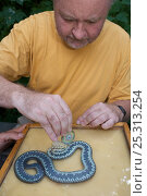 Купить «Klaus-Detlef Kuehnel measuring a caught Grass snake (Natrix natrix), Oekowerk in the Grunewald, Berlin, Germany, August 2006», фото № 25313254, снято 16 декабря 2018 г. (c) Nature Picture Library / Фотобанк Лори