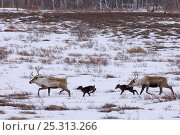 Купить «Caribou /Reindeer (Rangifer tarandus) crossing winter landscape with young, Kamchatka, Far east Russia, January», фото № 25313266, снято 23 июля 2019 г. (c) Nature Picture Library / Фотобанк Лори