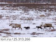 Купить «Caribou /Reindeer (Rangifer tarandus) crossing winter landscape with young, Kamchatka, Far east Russia, January», фото № 25313266, снято 16 июля 2019 г. (c) Nature Picture Library / Фотобанк Лори