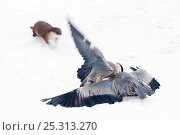 Купить «European Otter (Lutra lutra) trying to catch two fighting Blue Herons (Ardea herodias) on snow. Captive. The Netherlands, January.», фото № 25313270, снято 19 сентября 2019 г. (c) Nature Picture Library / Фотобанк Лори