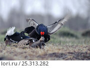 Купить «Black grouse (Tetrao tetrix) male mating with female at lek, Kurgan province, southern Russia, May», фото № 25313282, снято 26 июня 2019 г. (c) Nature Picture Library / Фотобанк Лори
