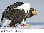 Купить «Steller's sea eagle (Haliaeetus pelagicus) walking over ice, crouched low, Lake Kuril, Kamchatka, Far East Russia, January», фото № 25313694, снято 18 октября 2019 г. (c) Nature Picture Library / Фотобанк Лори