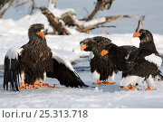 Купить «Steller's sea eagle (Haliaeetus pelagicus) mantling fish prey beside Lake Kuril, watched by other sea eagles, Kamchatka, Far East Russia, January», фото № 25313718, снято 20 октября 2018 г. (c) Nature Picture Library / Фотобанк Лори