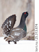 Купить «Capercaillie (Tetrao urogallus) male displaying and calling at lek, Kamchatka, Far east Russia, May», фото № 25313874, снято 26 июня 2019 г. (c) Nature Picture Library / Фотобанк Лори