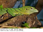 Купить «Green / Emerald tree monitor (Varanus prasinus) captive, from Papua New Guinea, Indonesia», фото № 25313902, снято 3 апреля 2020 г. (c) Nature Picture Library / Фотобанк Лори