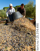 Купить «Men tipping out baskets of harvested olives (Olea europaea) in Sierra de Andujar Natural Park. Andalusia, Spain, Feb 2010», фото № 25314490, снято 23 июля 2018 г. (c) Nature Picture Library / Фотобанк Лори