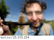 Купить «Woodlouse expert Christian Schmidt with a Woodlouse (Porcellio scaber) held in a pair of tweezers. Germany, June 2009», фото № 25315254, снято 20 июля 2018 г. (c) Nature Picture Library / Фотобанк Лори