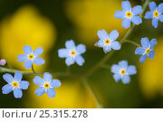 Купить «Forget-me-not flowers (Myosotis sp) Germany.», фото № 25315278, снято 17 августа 2018 г. (c) Nature Picture Library / Фотобанк Лори