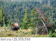 Купить «Moose (Alces alces) bull lying in forest clearing,  Cap Breton Highlands National Park, Nova Scotia, Canada, September», фото № 25315510, снято 17 октября 2018 г. (c) Nature Picture Library / Фотобанк Лори