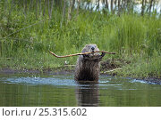 Eurasian beaver (Castor fiber) demonstrating stick display, territorial behaviour, Telemark, Norway, June. Стоковое фото, фотограф Orsolya Haarberg / Nature Picture Library / Фотобанк Лори