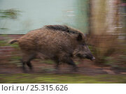 Купить «Wild boar (Sus scrofa) young sow running past house in city garden, Berlin, Germany, March», фото № 25315626, снято 6 июня 2020 г. (c) Nature Picture Library / Фотобанк Лори