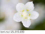Купить «Grass-of-Parnassus (Parnassius palustris), flower, Berlin, Germany, July», фото № 25315690, снято 17 июля 2018 г. (c) Nature Picture Library / Фотобанк Лори
