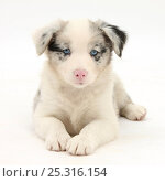 Купить «Merle Border Collie puppy, 6 weeks, lying with head up.», фото № 25316154, снято 27 апреля 2018 г. (c) Nature Picture Library / Фотобанк Лори