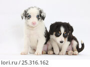 Купить «Two Border Collie puppies sitting.», фото № 25316162, снято 19 июля 2018 г. (c) Nature Picture Library / Фотобанк Лори