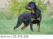 Domestic dog, Rottweiler, outdoors. Стоковое фото, фотограф Yves Lanceau / Nature Picture Library / Фотобанк Лори