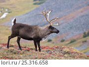 Купить «Caribou / Reindeer (Rangifer tarandus) on hillside with valley in background, Kamchatka, Far east Russia, September», фото № 25316658, снято 23 июля 2019 г. (c) Nature Picture Library / Фотобанк Лори