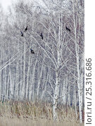 Купить «Black grouse (Tetrao tetrix) five males perched in birch trees, Kurgan province, southern Russia, May», фото № 25316686, снято 27 марта 2019 г. (c) Nature Picture Library / Фотобанк Лори