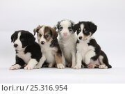 Купить «Four Border Collie puppies.», фото № 25316954, снято 27 апреля 2018 г. (c) Nature Picture Library / Фотобанк Лори