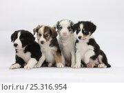Купить «Four Border Collie puppies.», фото № 25316954, снято 16 декабря 2017 г. (c) Nature Picture Library / Фотобанк Лори