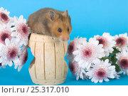 Купить «Pet domestic hamster (Mesocritecus auratus) sniffing flowers, UK», фото № 25317010, снято 19 августа 2018 г. (c) Nature Picture Library / Фотобанк Лори