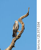 Купить «Mississippi kite (Ictinia mississippiensis), perched on dead branch, Wichita Mountains National Wildlife Refuge, Oklahoma, USA, May», фото № 25317034, снято 14 августа 2018 г. (c) Nature Picture Library / Фотобанк Лори