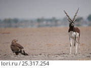 Blackbuck (Antilope cervicapra) and Steppe Eagle (Aquila nipalensis) Rajasthan, India. Стоковое фото, фотограф Bernard Castelein / Nature Picture Library / Фотобанк Лори