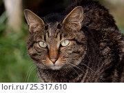 Купить «Portrait of Kurilian Bobtail cat (origins: Russia) Connecticut, USA», фото № 25317610, снято 20 августа 2018 г. (c) Nature Picture Library / Фотобанк Лори