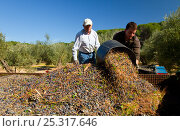 Купить «Men tipping out baskets of harvested olives (Olea europaea) in Sierra de Andujar Natural Park. Andalusia, Spain, Feb 2010», фото № 25317646, снято 23 июля 2018 г. (c) Nature Picture Library / Фотобанк Лори