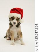 Купить «Border Collie puppy wearing a Christmas hat.», фото № 25317854, снято 16 декабря 2017 г. (c) Nature Picture Library / Фотобанк Лори