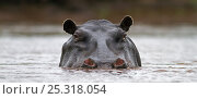 Купить «Hippopotamus (Hippopotamus amphibius) with head above water, Masai Mara National Reserve, Kenya. February», фото № 25318054, снято 13 июля 2020 г. (c) Nature Picture Library / Фотобанк Лори