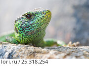 Купить «Sand lizard (Lacerta agilis) male on a stone wall, portrait, Oekowerk in the Grunewald, Berlin, Germany, June», фото № 25318254, снято 16 декабря 2018 г. (c) Nature Picture Library / Фотобанк Лори