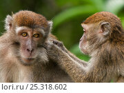 Two Long-tailed / Crab-eating macaques (Macaca fascicularis) one grooming the other, Bako National Park, Sarawak, Borneo, Malaysia. Стоковое фото, фотограф Edwin Giesbers / Nature Picture Library / Фотобанк Лори