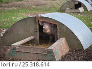 Купить «Domestic pig, hybrid large white sow in free-range sty conditions, UK, September 2010», фото № 25318614, снято 21 июля 2018 г. (c) Nature Picture Library / Фотобанк Лори