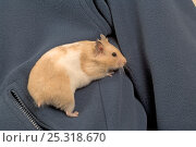 Купить «Pet domestic hamster (Mesocritecus auratus) climbing out from coat pocket, UK», фото № 25318670, снято 20 августа 2018 г. (c) Nature Picture Library / Фотобанк Лори