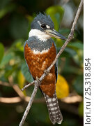 """Ringed Kingfisher (Ceryle / Megaceryle torquata) perched on a """"watch point"""" hunting for fish, Pantanal, Brazil, August. Стоковое фото, фотограф Mary McDonald / Nature Picture Library / Фотобанк Лори"""
