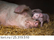 Купить «Domestic pig, hybrid large white sow and piglet in sty, UK, September 2010», фото № 25319510, снято 20 января 2018 г. (c) Nature Picture Library / Фотобанк Лори