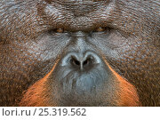 Купить «Orang utan (Pongo pygmaeus) close up face portrait of dominant male called Aman. He is the first orangutan in the world to have had his cataracts operated...», фото № 25319562, снято 16 июля 2018 г. (c) Nature Picture Library / Фотобанк Лори