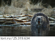 Eurasian beaver (Castor fiber) sniffing the air, Telemark, Norway, April. Стоковое фото, фотограф Orsolya Haarberg / Nature Picture Library / Фотобанк Лори