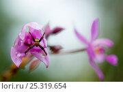 Купить «Multicoloured orb weaver spider (Argiope versicolor) male on flowering plant, Sarawak, Borneo, Malaysia», фото № 25319654, снято 14 июля 2020 г. (c) Nature Picture Library / Фотобанк Лори