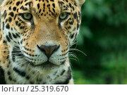Jaguar (Panthera onca) close-up head portrait, captive. Стоковое фото, фотограф Edwin Giesbers / Nature Picture Library / Фотобанк Лори
