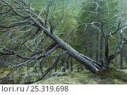 Fallen tree in Scots pine forest, Reisa NP, Nordreisa, Troms, Norway, August 2006, фото № 25319698, снято 26 апреля 2017 г. (c) Nature Picture Library / Фотобанк Лори