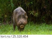 Bearded pig (Sus barbatus) standing in grass, Bako National Park, Sarawak, Borneo, Malaysia. Стоковое фото, фотограф Edwin Giesbers / Nature Picture Library / Фотобанк Лори