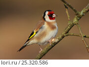 Купить «Goldfinch (Carduelis carduelis) perched on twig. Ringwood, Hampshire, UK, January.», фото № 25320586, снято 19 марта 2019 г. (c) Nature Picture Library / Фотобанк Лори